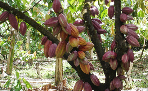 cacaor
