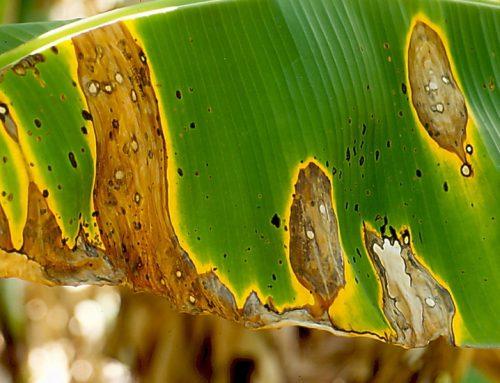 La Sigatoka Amarilla del Banano