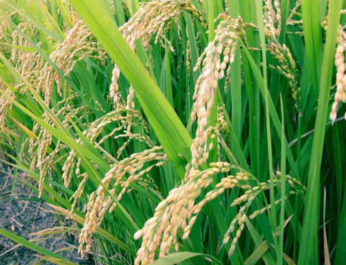 Desarrollan arroz transgénico con uso eficiente del nitrógeno al sobreexpresar dos genes