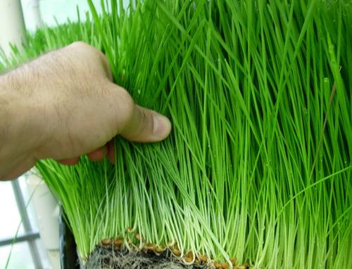 Una enzima de hierba común podría incrementar el crecimiento y el rendimiento de cultivos